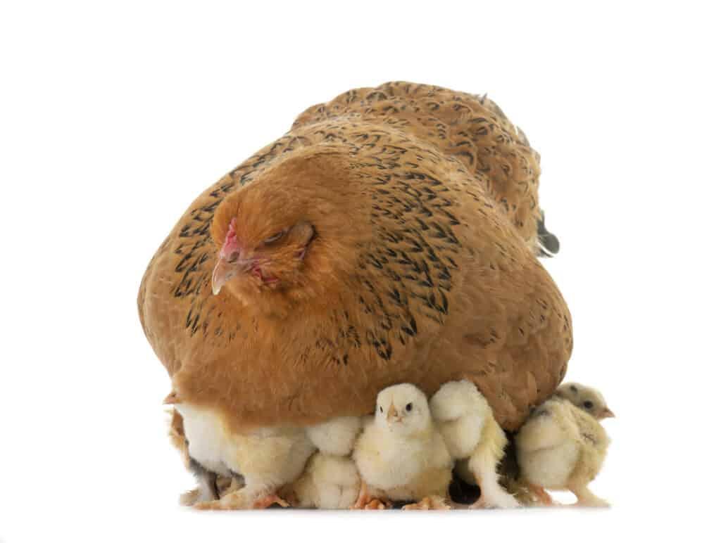 buff brahma chicken with baby chicks