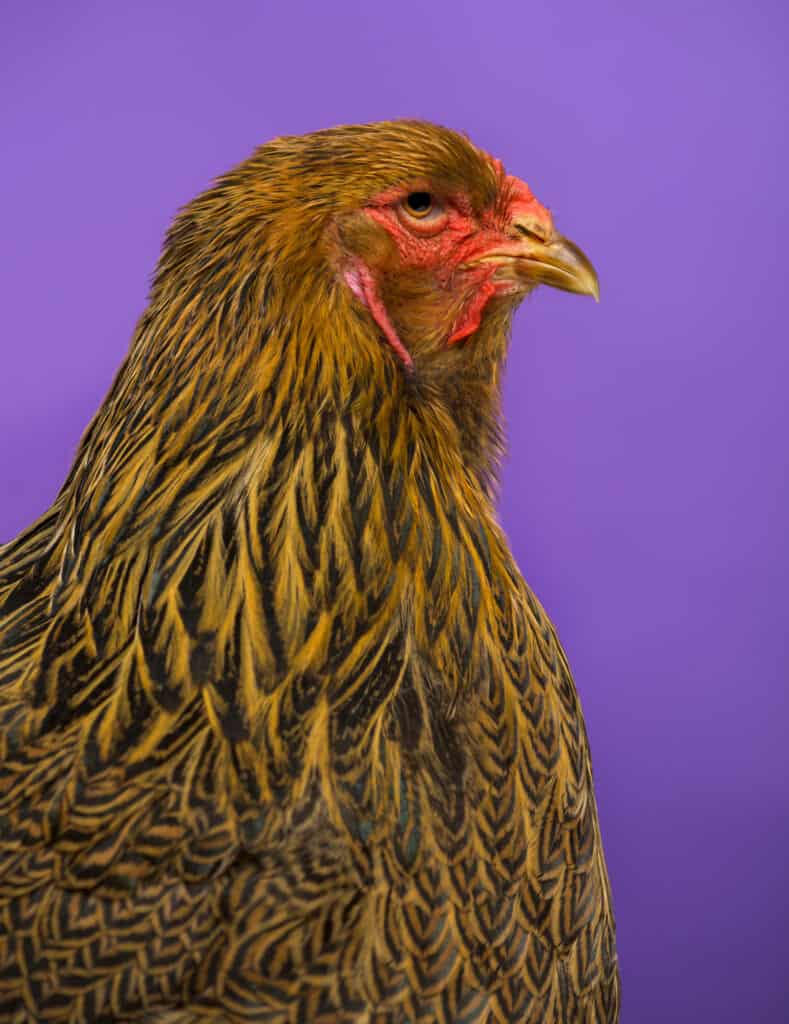 buff brahma chicken