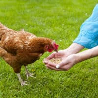 chicken eating from womans hands