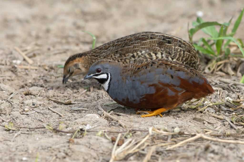 button quail male and female