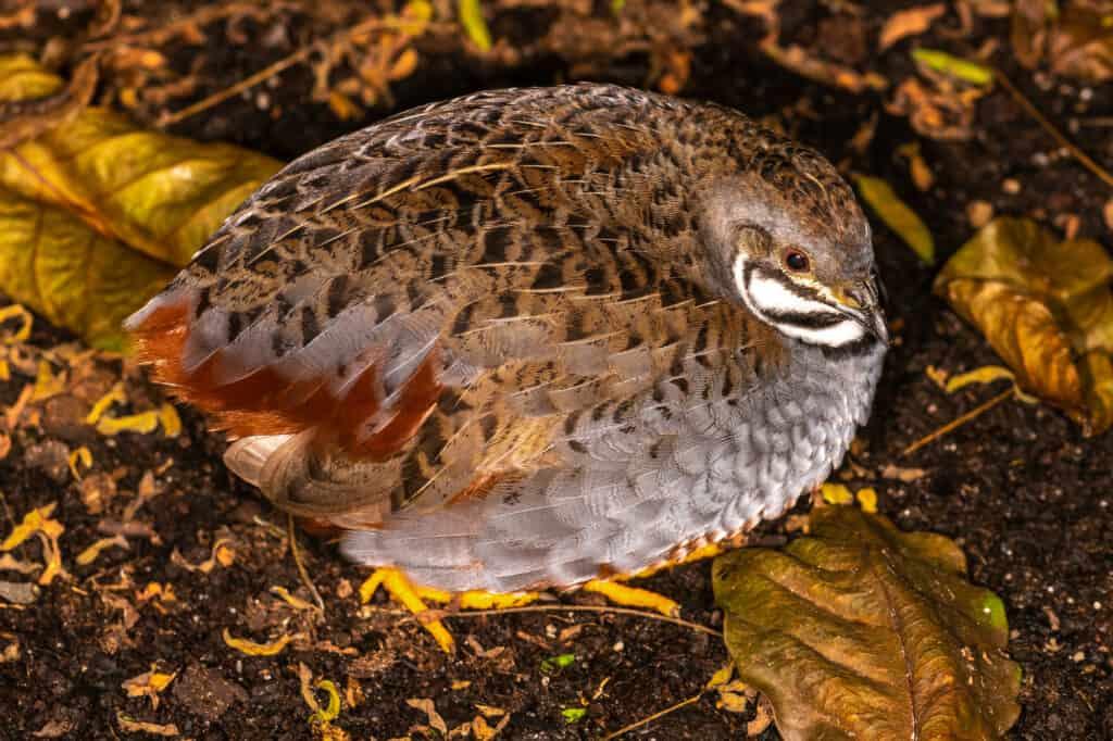 button quail