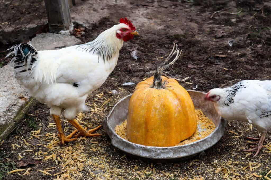 Sick Chicken Symptoms, Diseases & Treatments 49