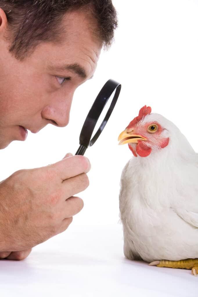 Sick Chicken Symptoms, Diseases & Treatments 37