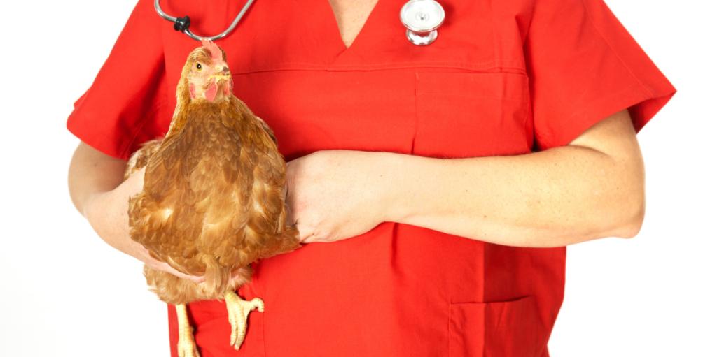 Sick Chicken Symptoms, Diseases & Treatments 36