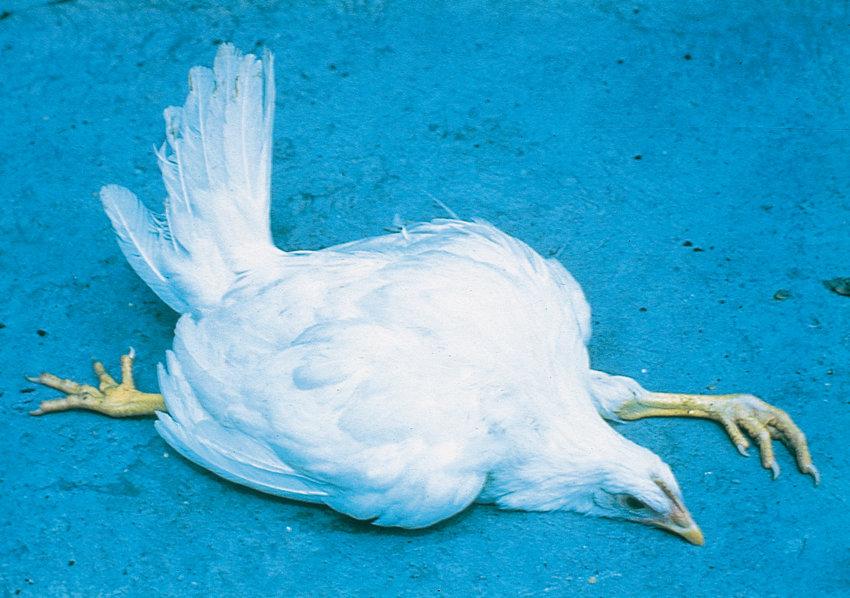 Marek's disease - Poultry disease